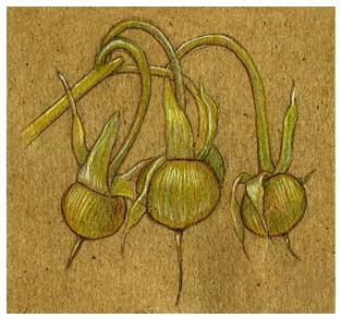 dried_MG_seeds.jpg