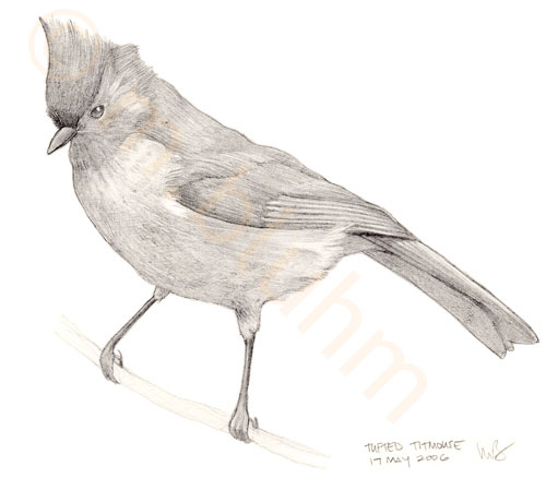 mbluhm_tufted_titmouse.jpg