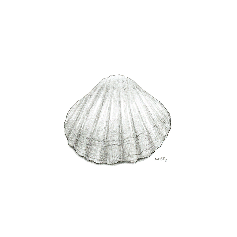 cockle_shell.jpg