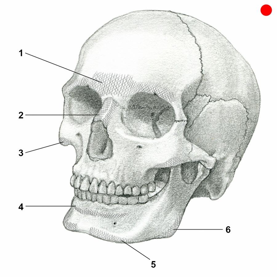 plemons(skull)final.jpg