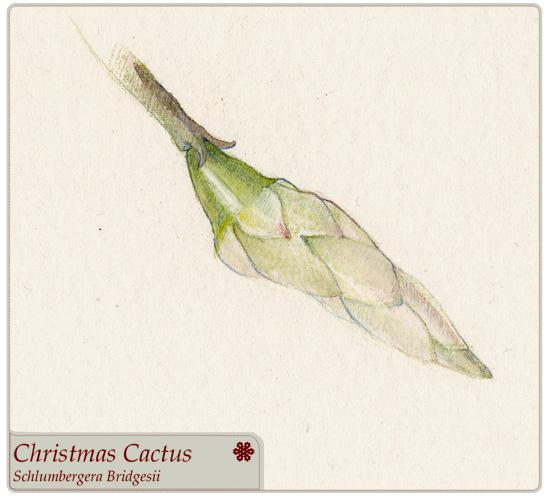 christmas_cactus.jpg