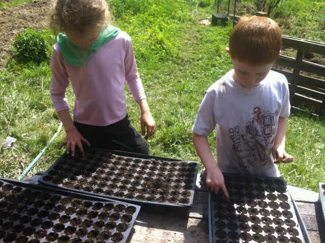 seeding sunflowers