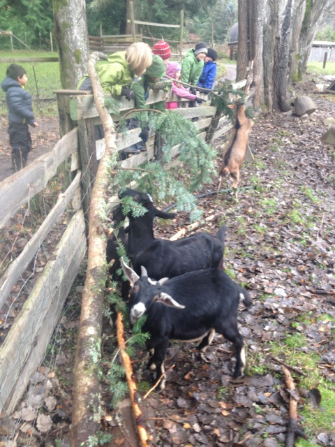 feeding forage to goats.jpg