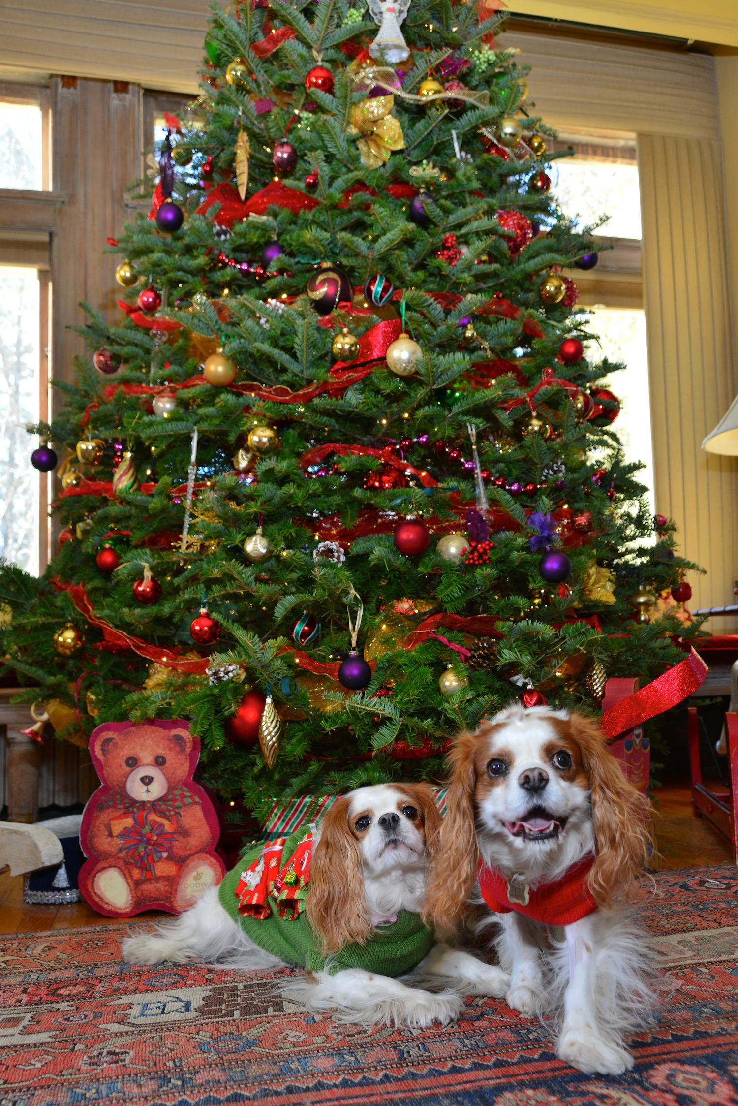 2 cavs under tree.jpg