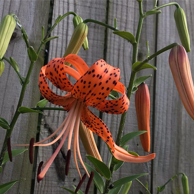 First Tiger Lily up!