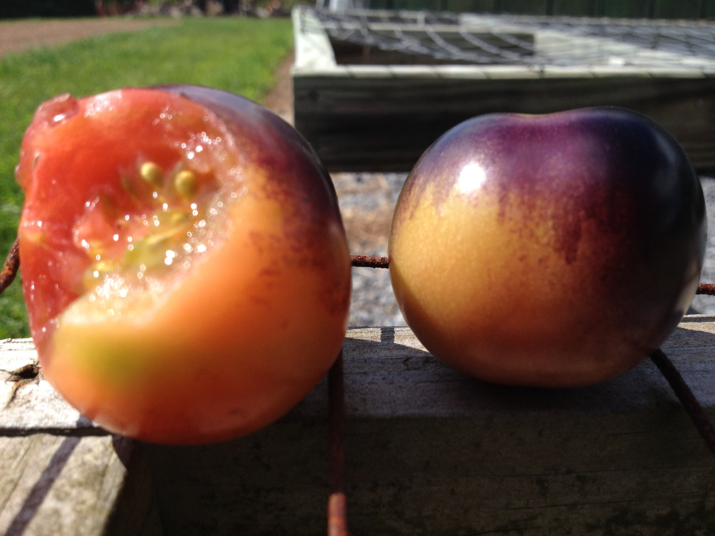 Randy grows a good tomato at Star Hollow.