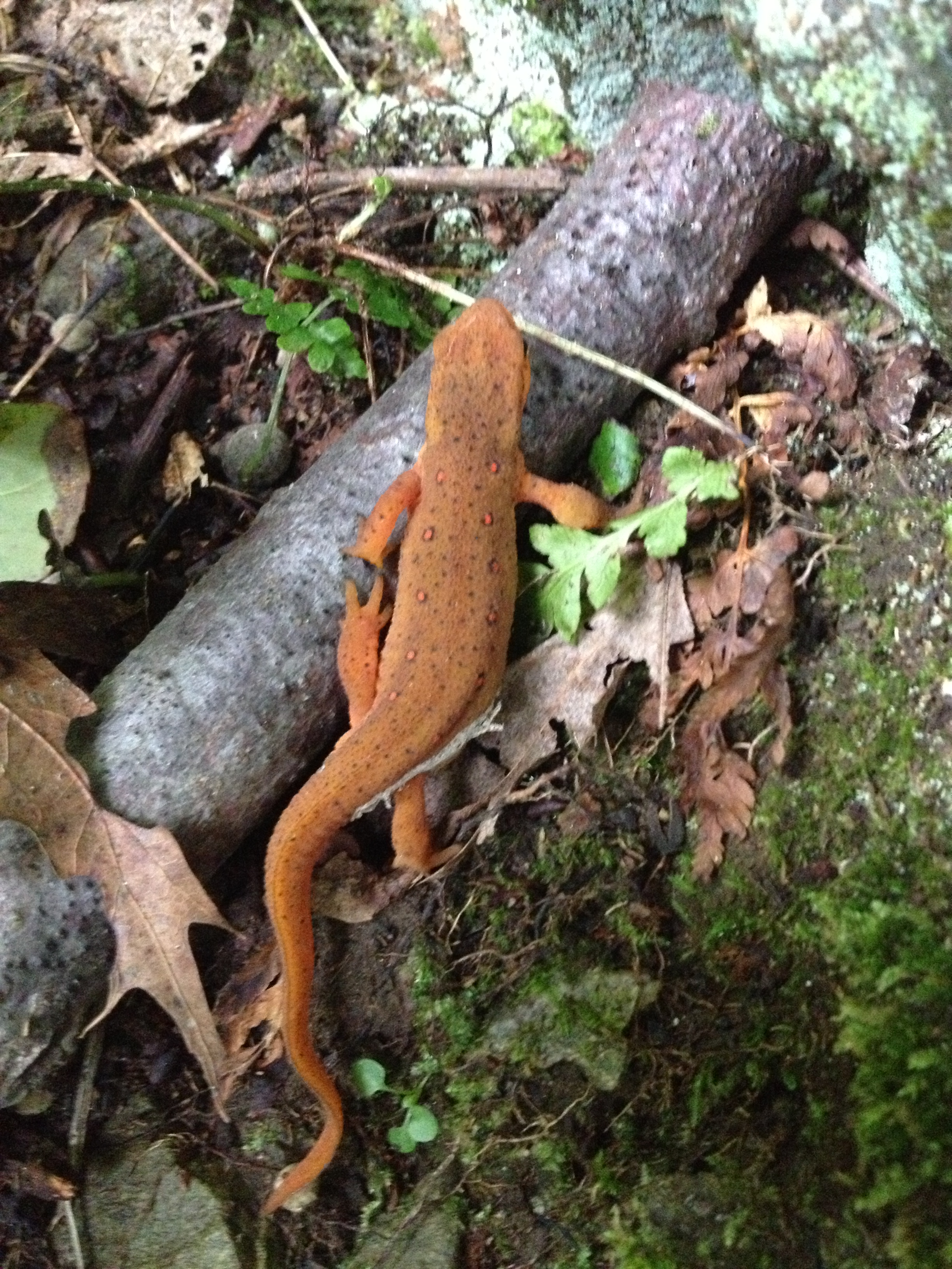 We saw a newt on our hike the next day.
