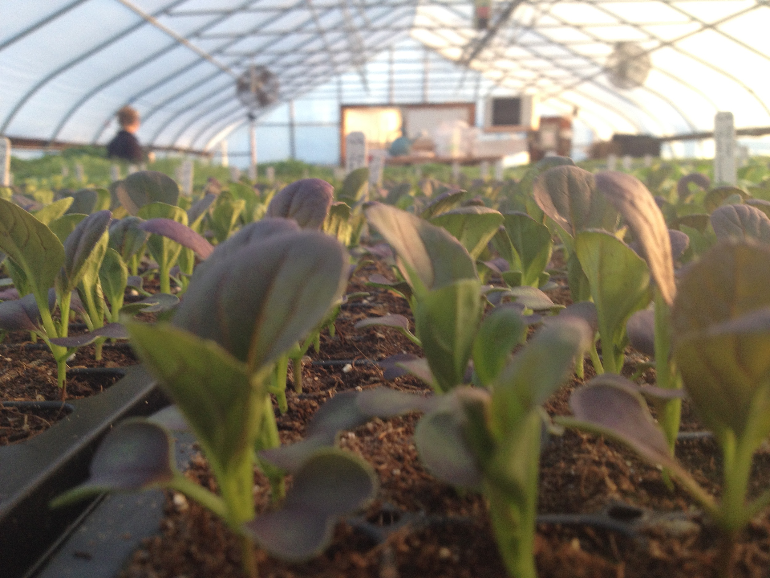 Brassica seedlings soaking up the rays.