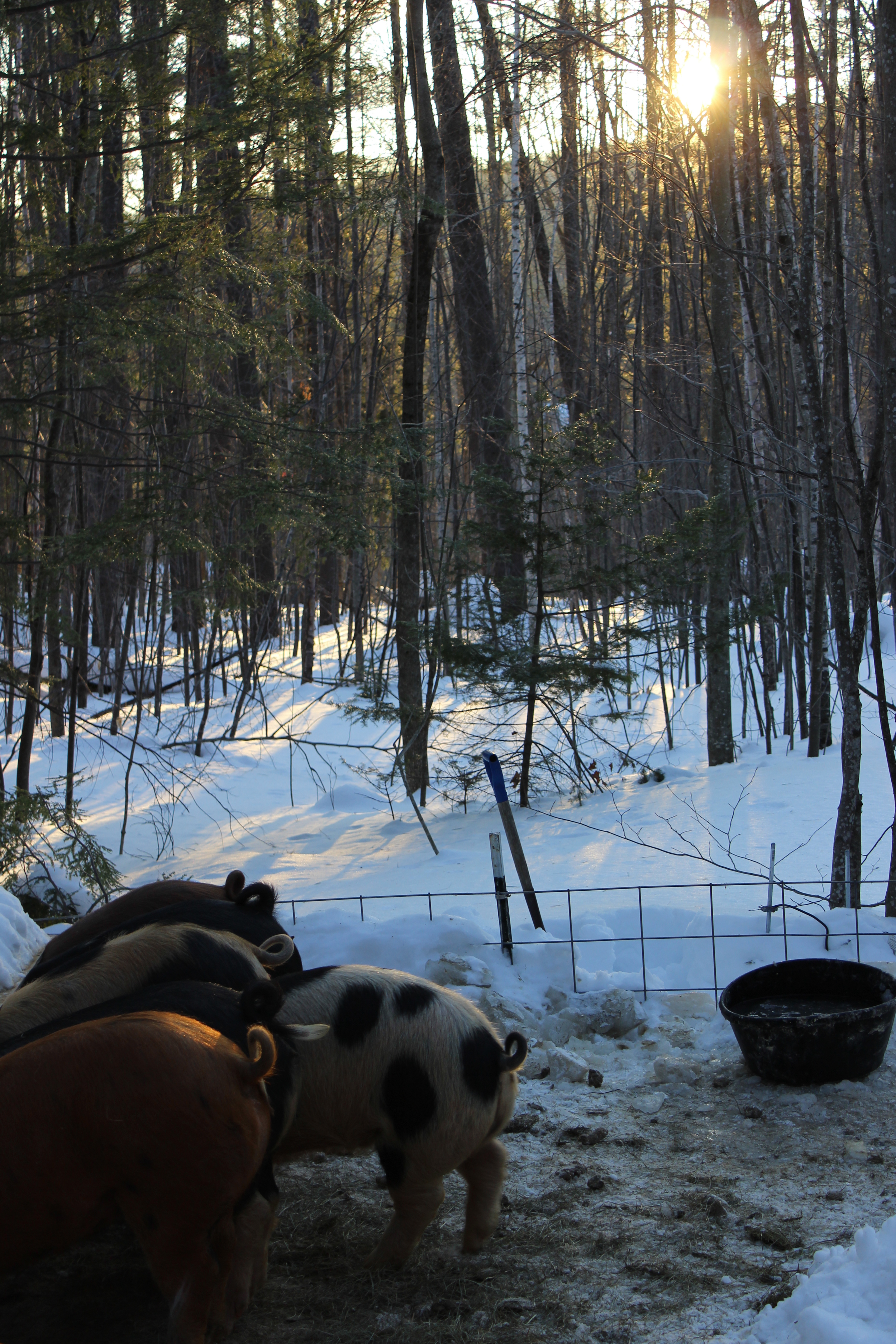 The Farm on Cragged Mountain's hogs, partying in the woods.
