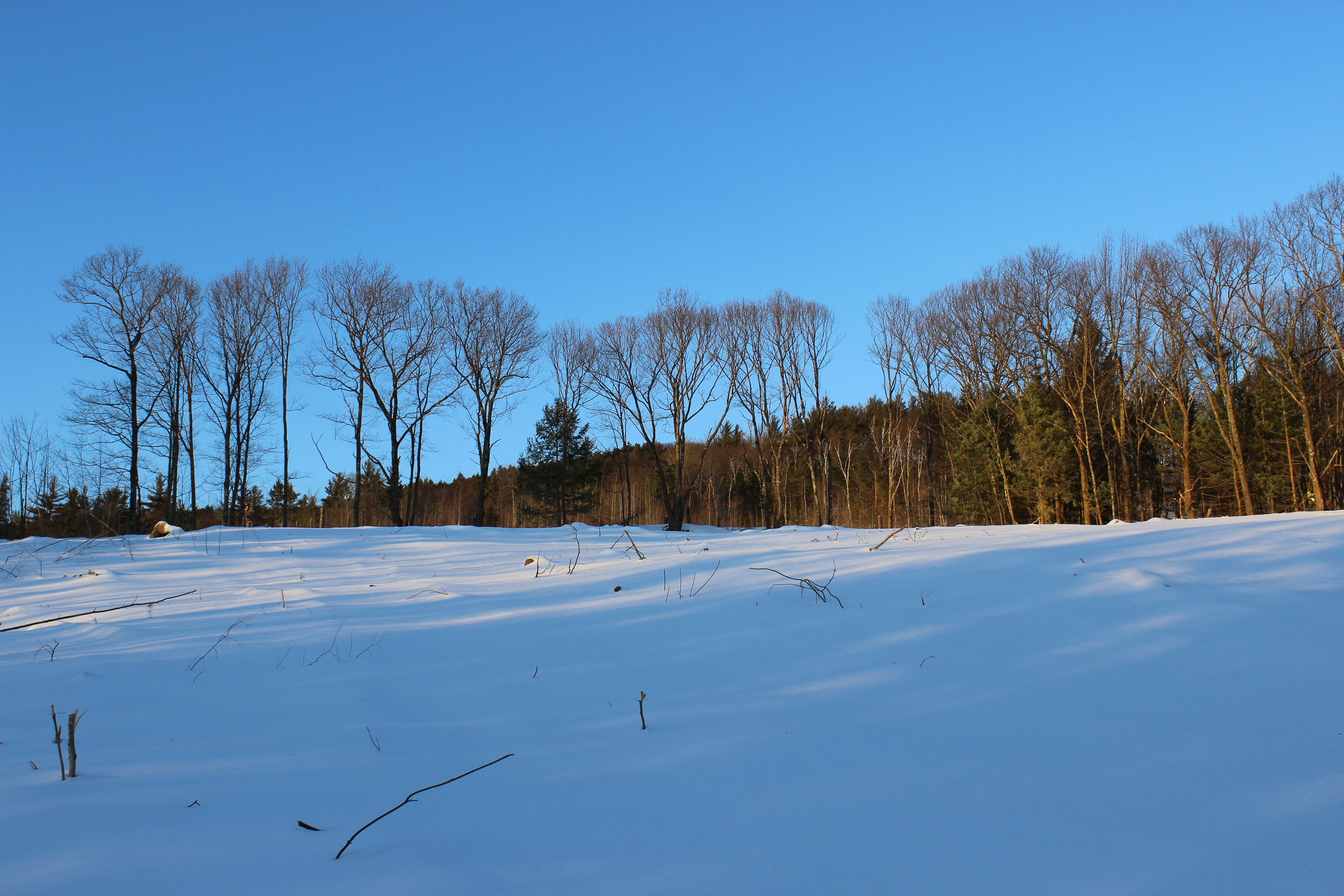 The Red and White Pines planted by Nick's grandfather in the 1920s have been cleared to make room forpasture- andcrop-land.