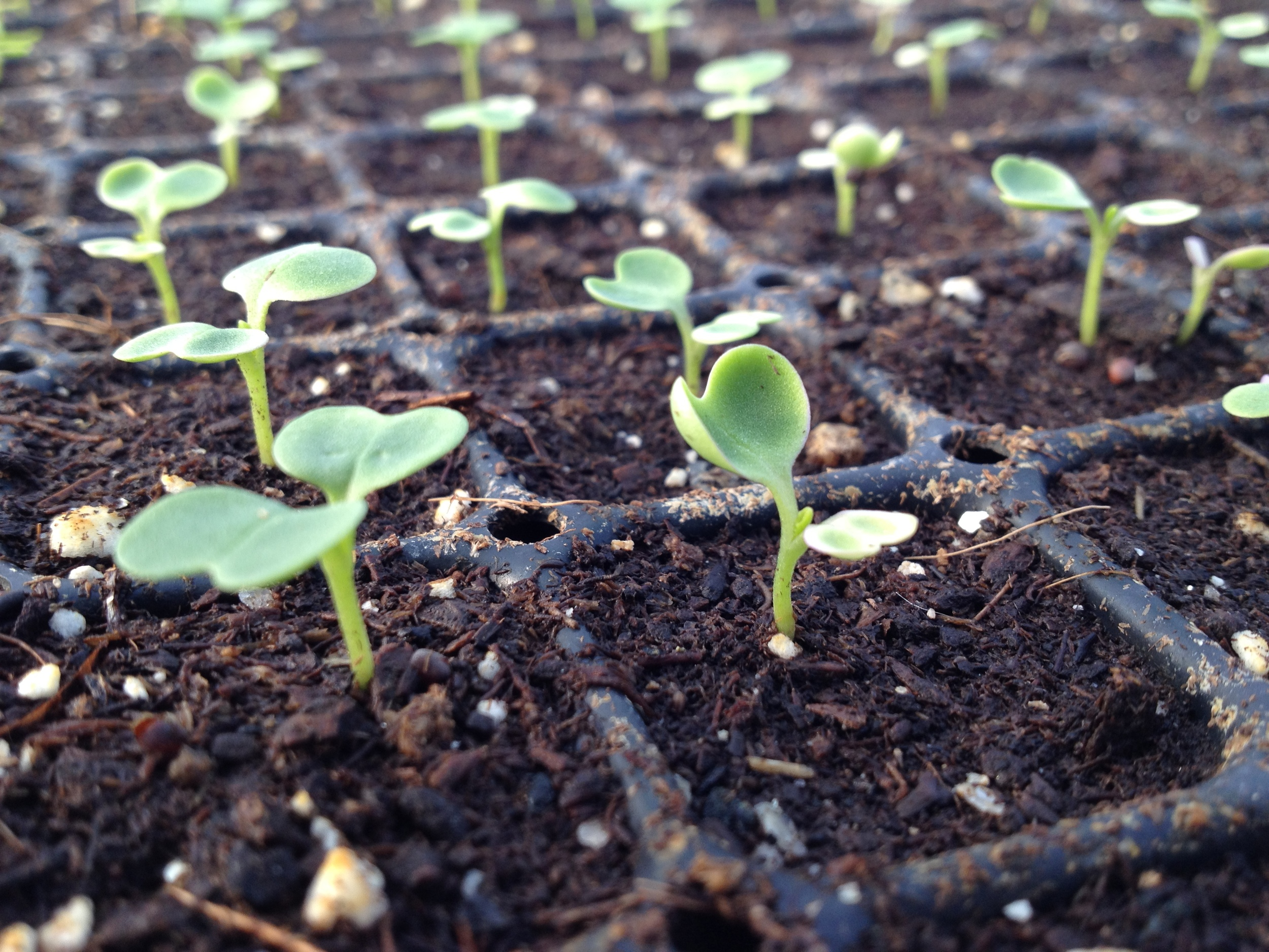 Brassica seedlings get their start while it's still quite cold outside.