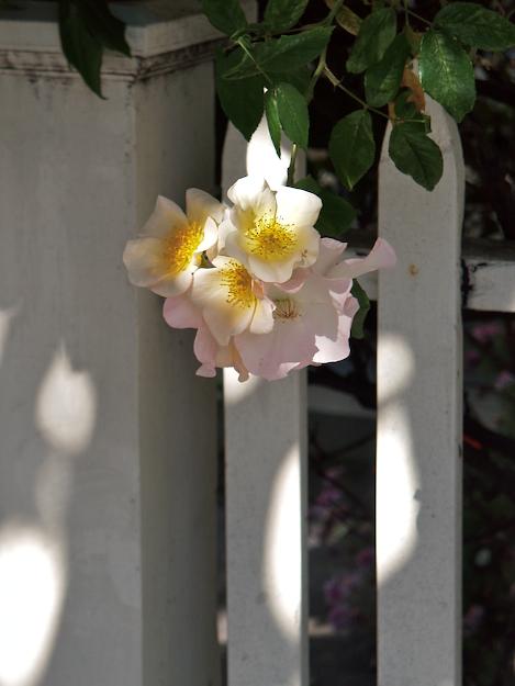 Picket Rose