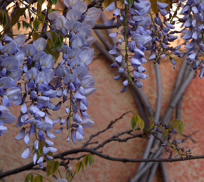 Shaded Wisteria