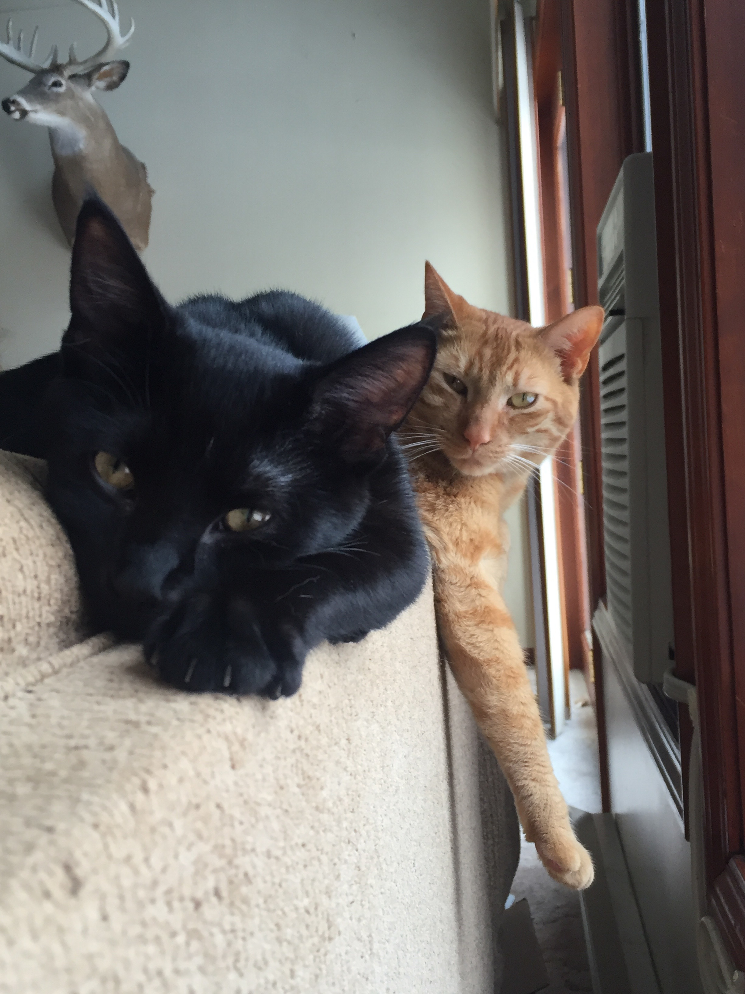 We wanted to update you on Skip (formerly Licorice, bob tail).  He has adjusted so easily to our family.  He's such a purr baby.  He loves Chuck (orange and adopted from you a few years ago).  Sarah