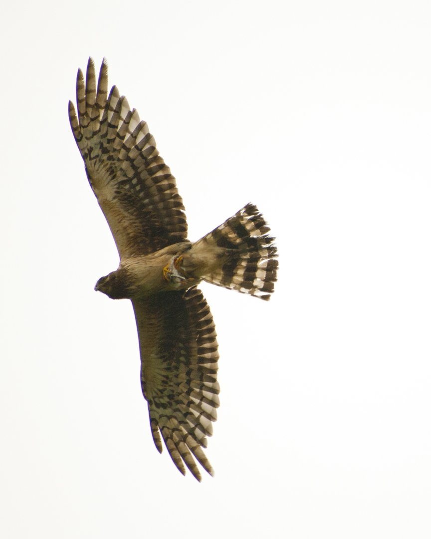 Harrier Hawk with Tern Chick
