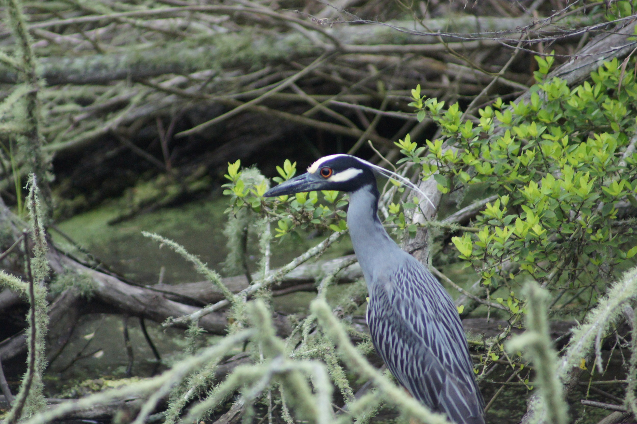 Lindsey_Roche_Yellow Crowned Night Heron.jpg