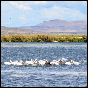 wetland-pelicans.jpg