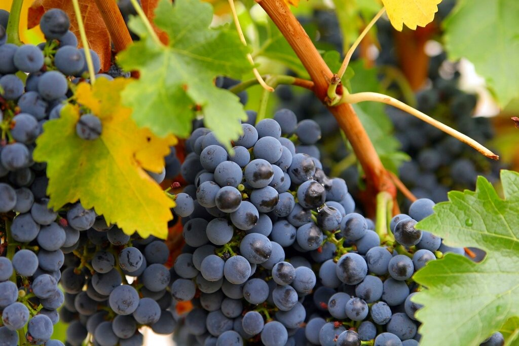 Close_up_grapes_1024.jpg