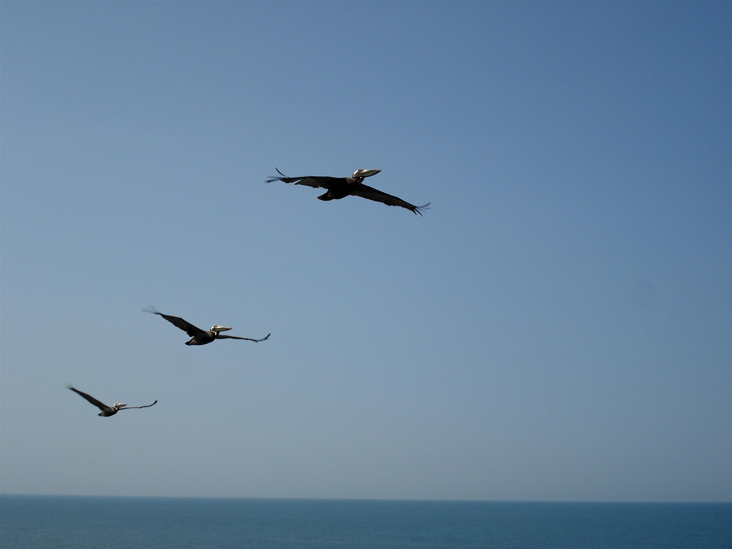 Pelicans in flight at Daytona Beach, Florida