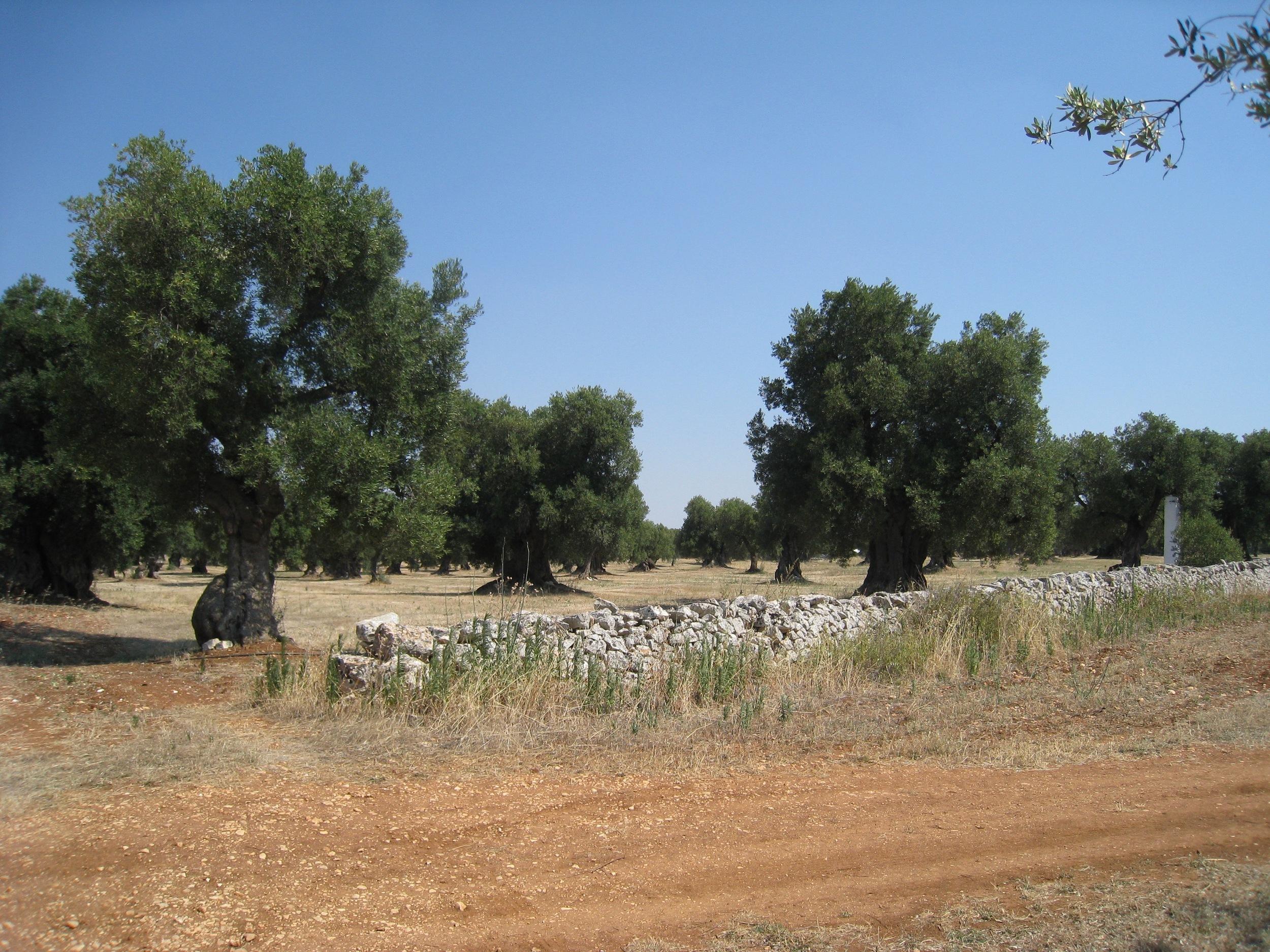 9 Olive Trees 2015.jpg