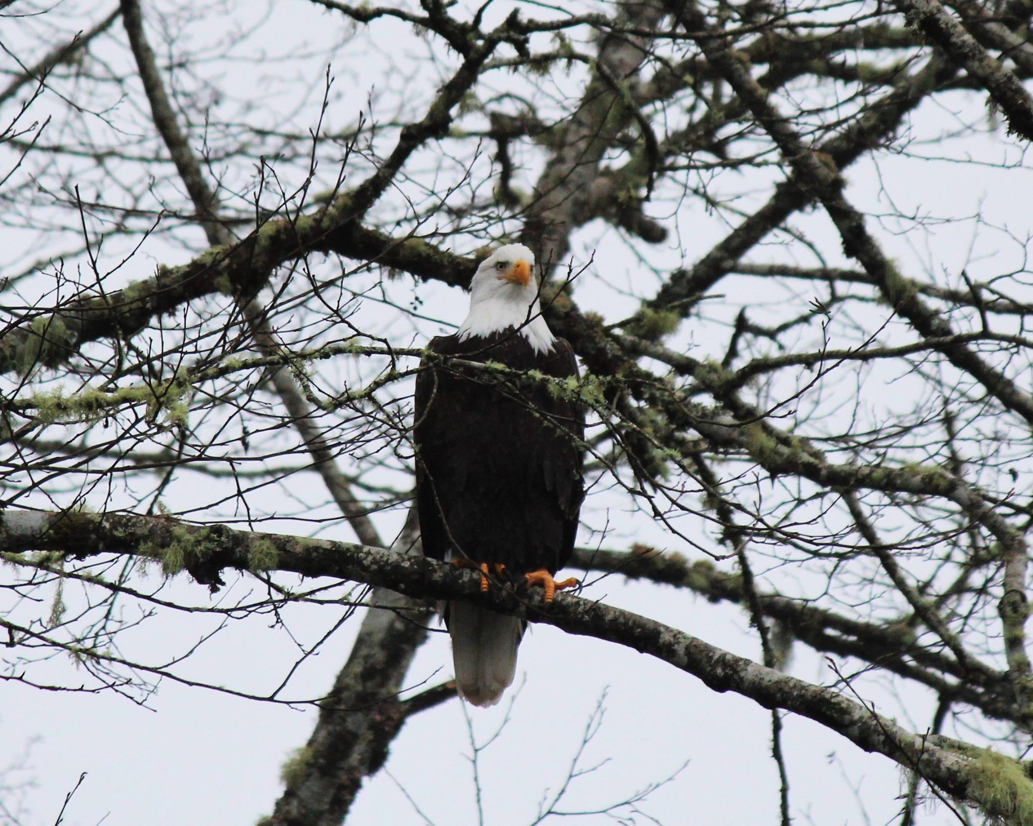 eagle photo Teri.jpg