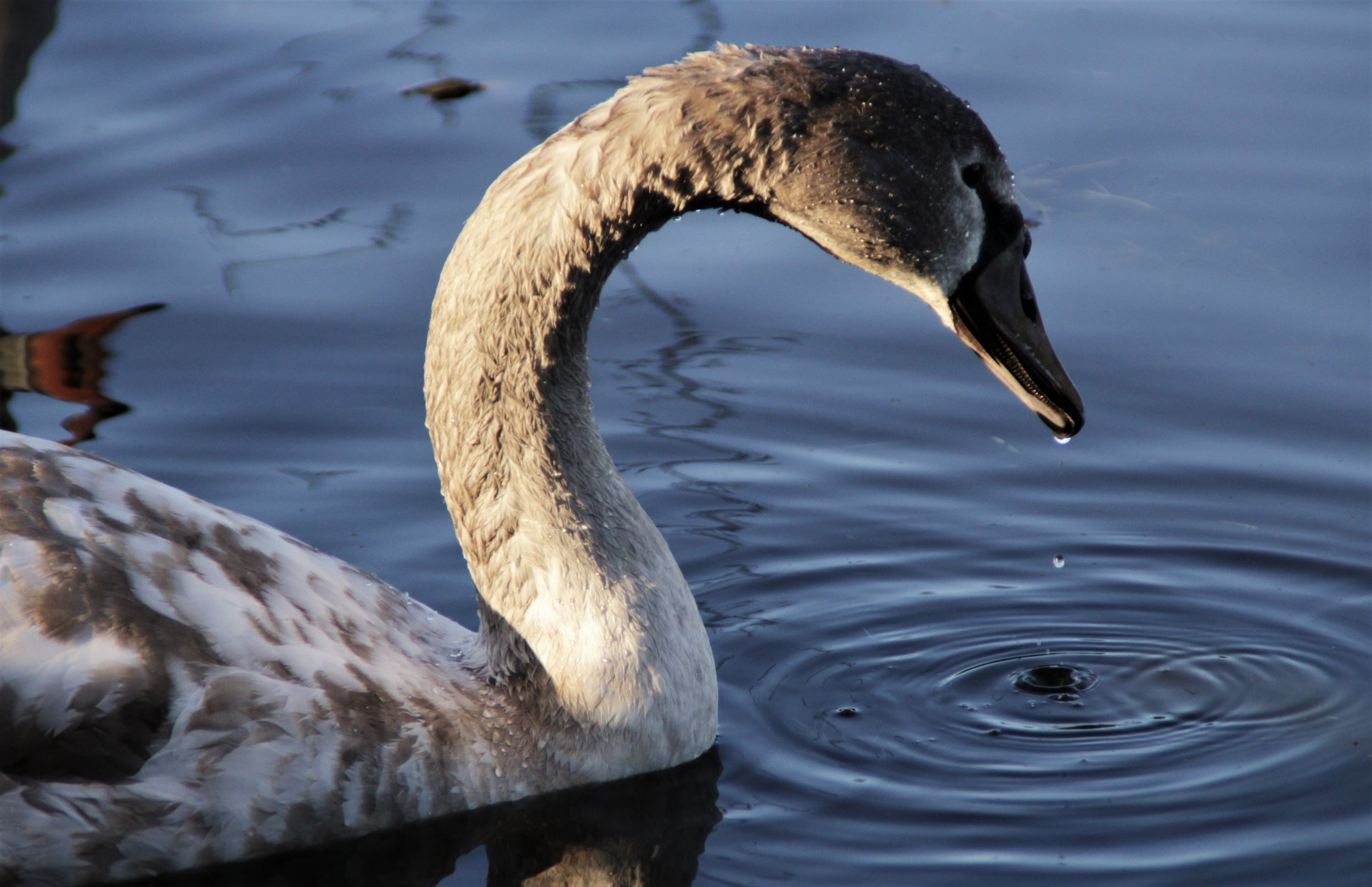 A fully grown trumpeter swan can live up to 20 years old.