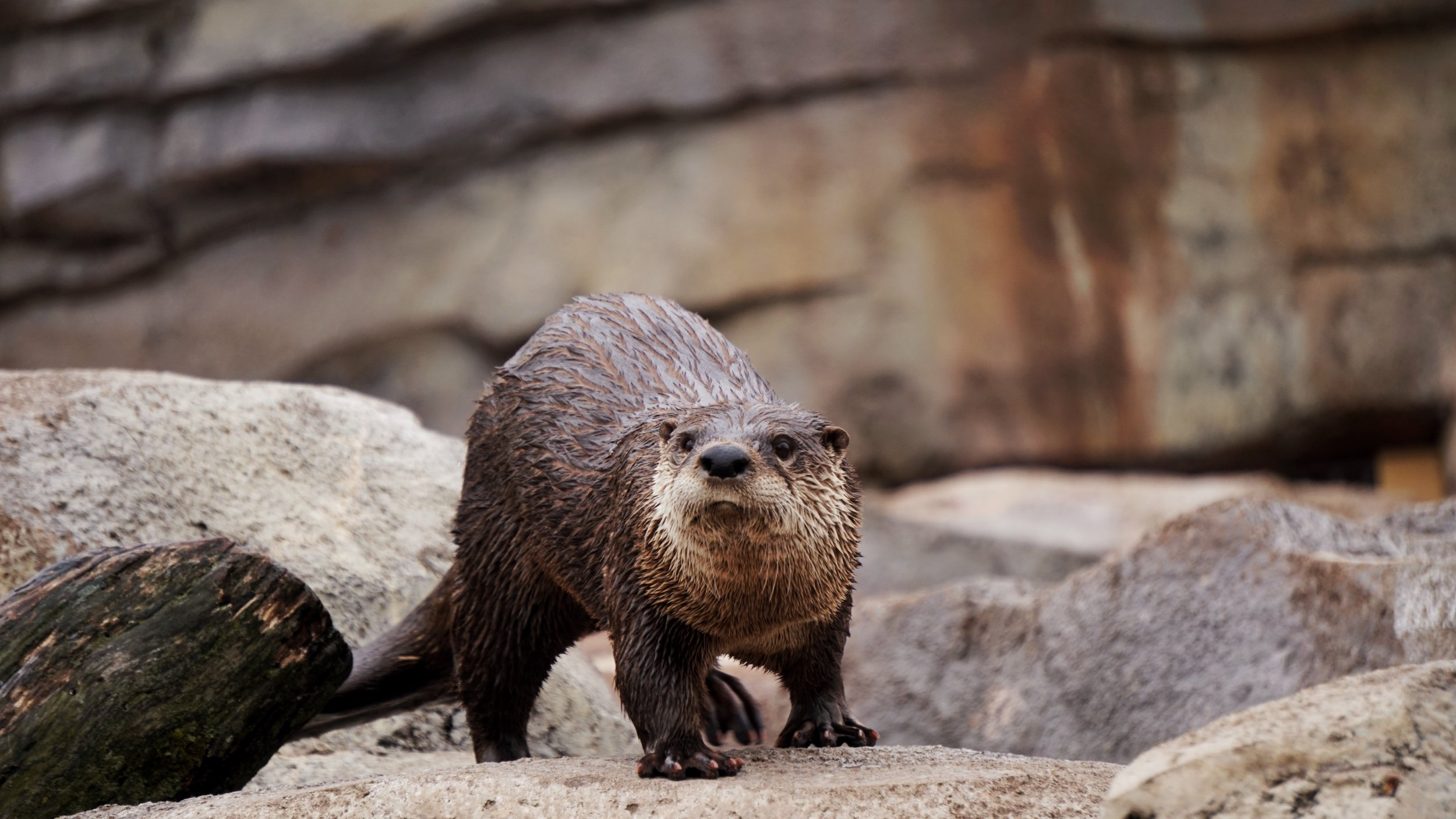 River otters are very friendly with one another, but not so much with outsiders.