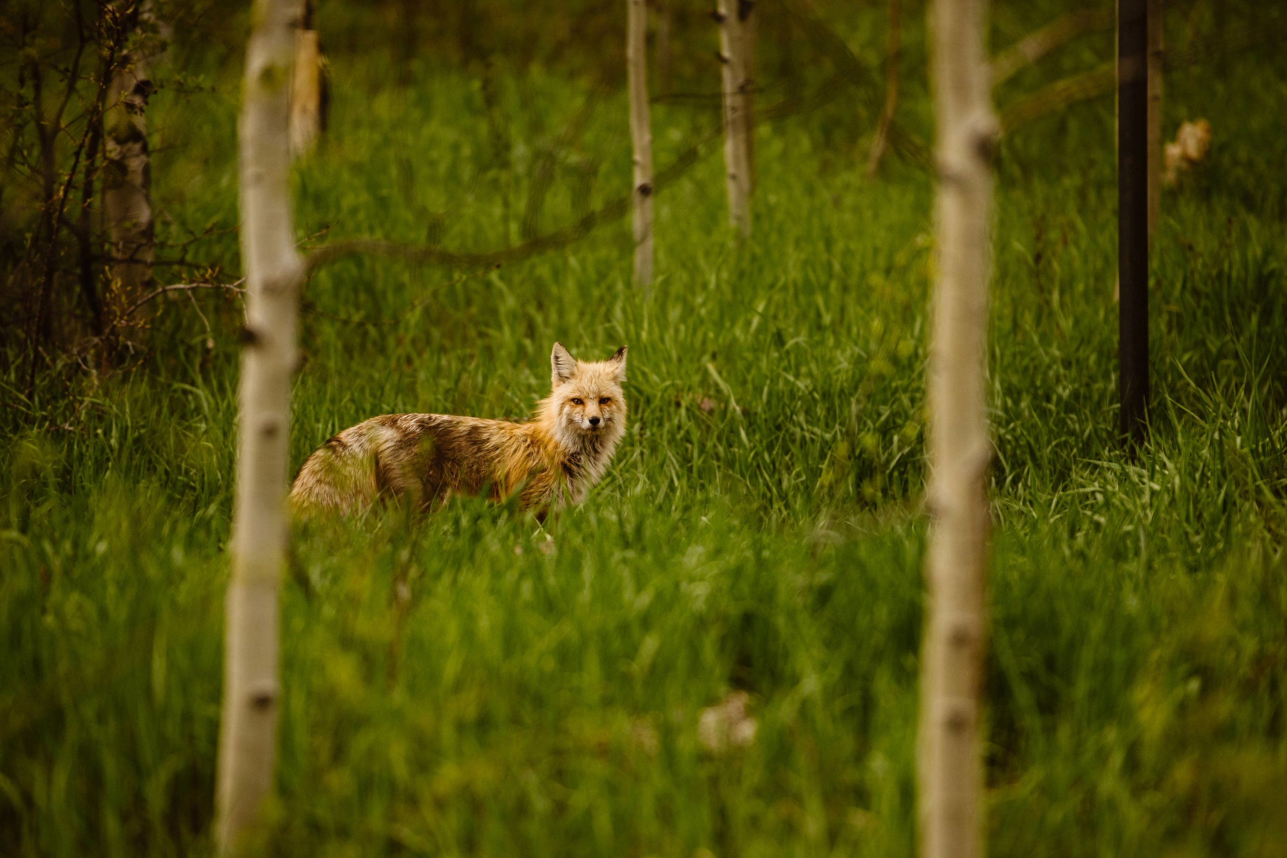 aspen-wild-life-photography