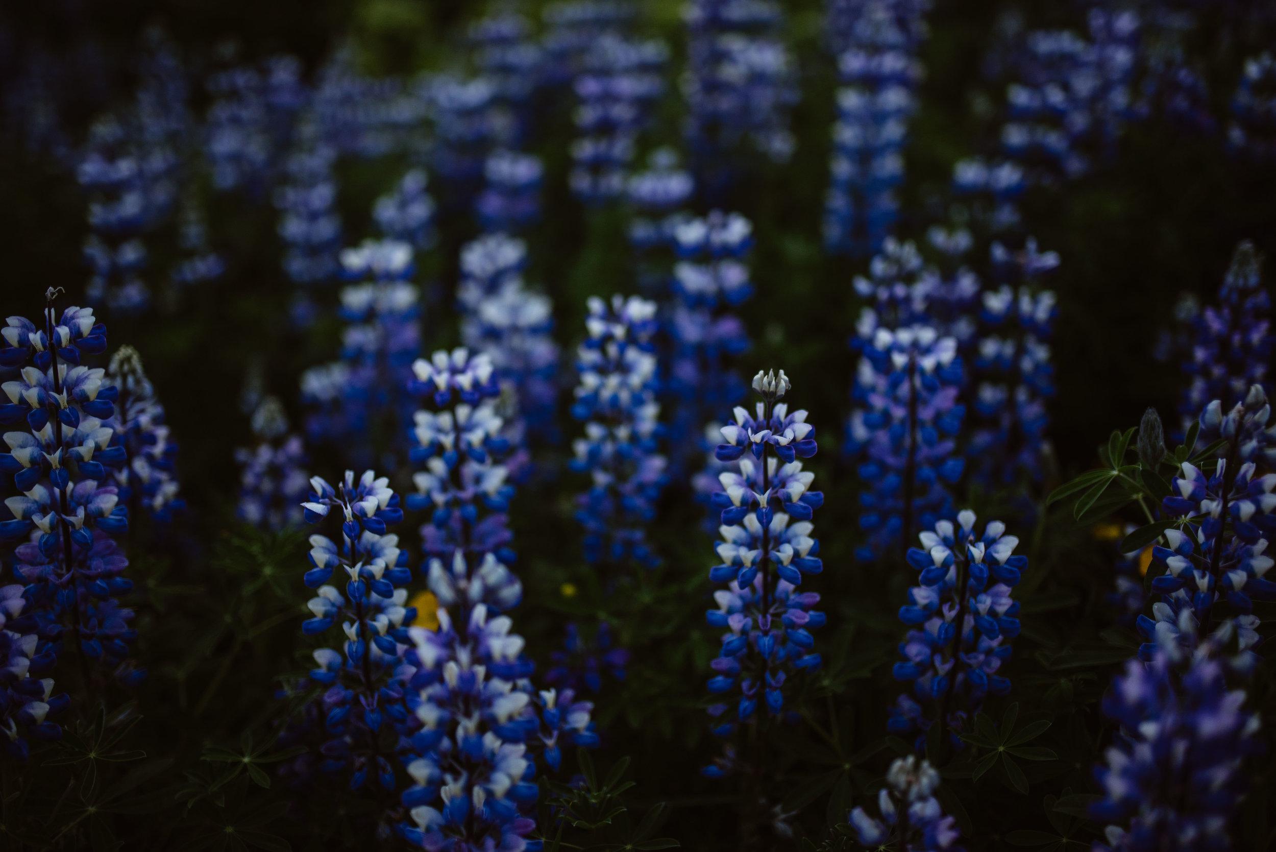 summer-flowers-iceland