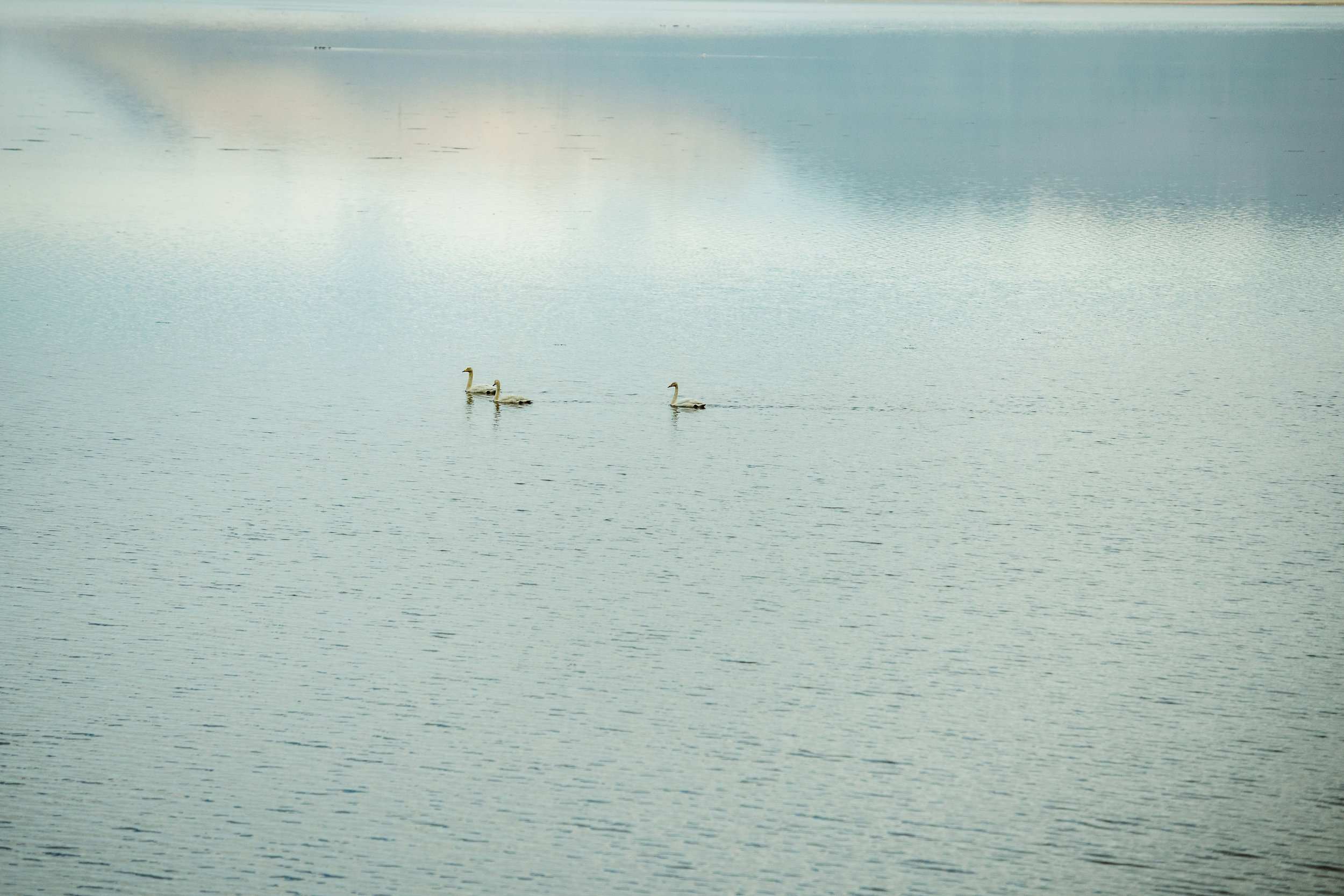 wildlife-in-iceland