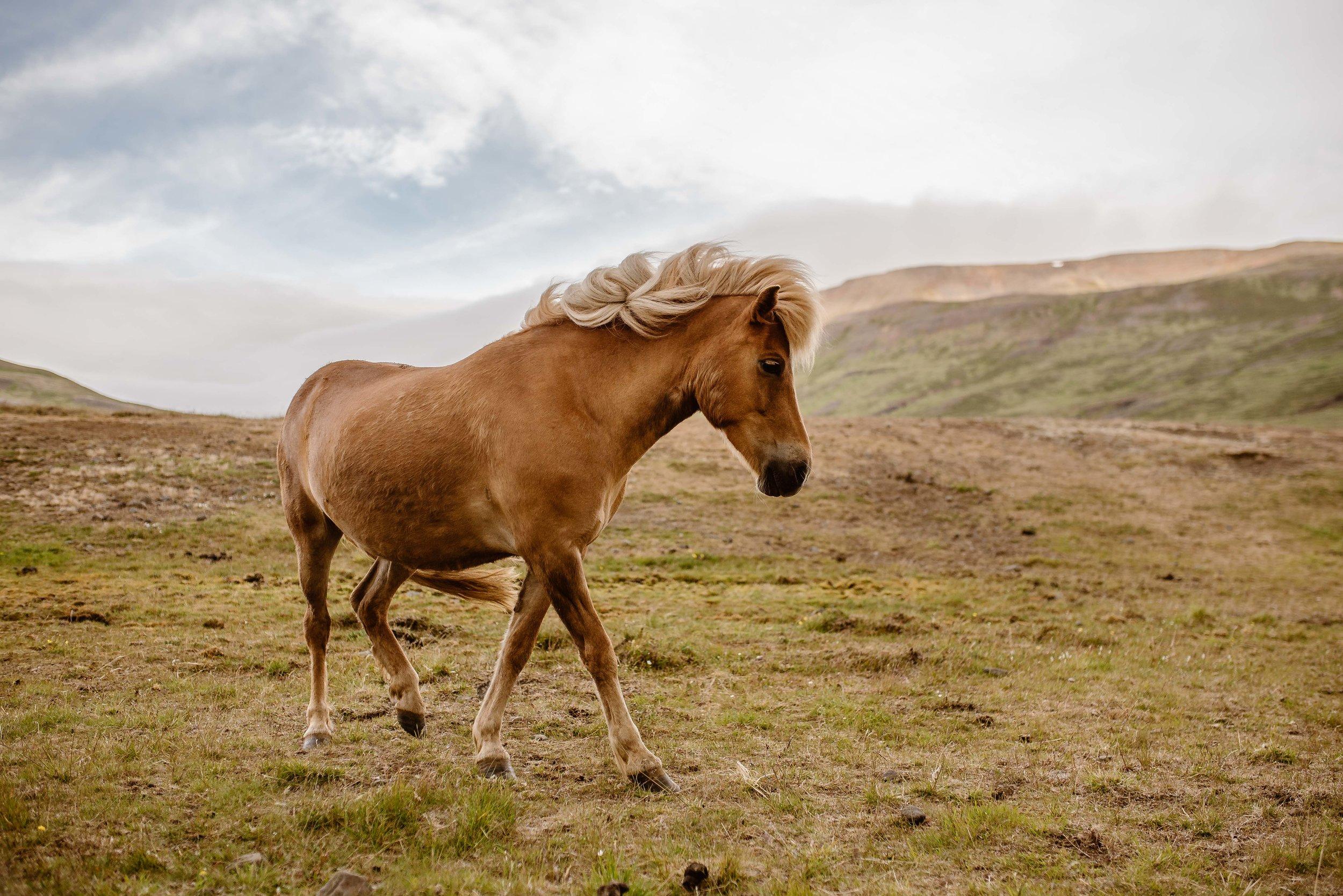 iceland-horse-photography