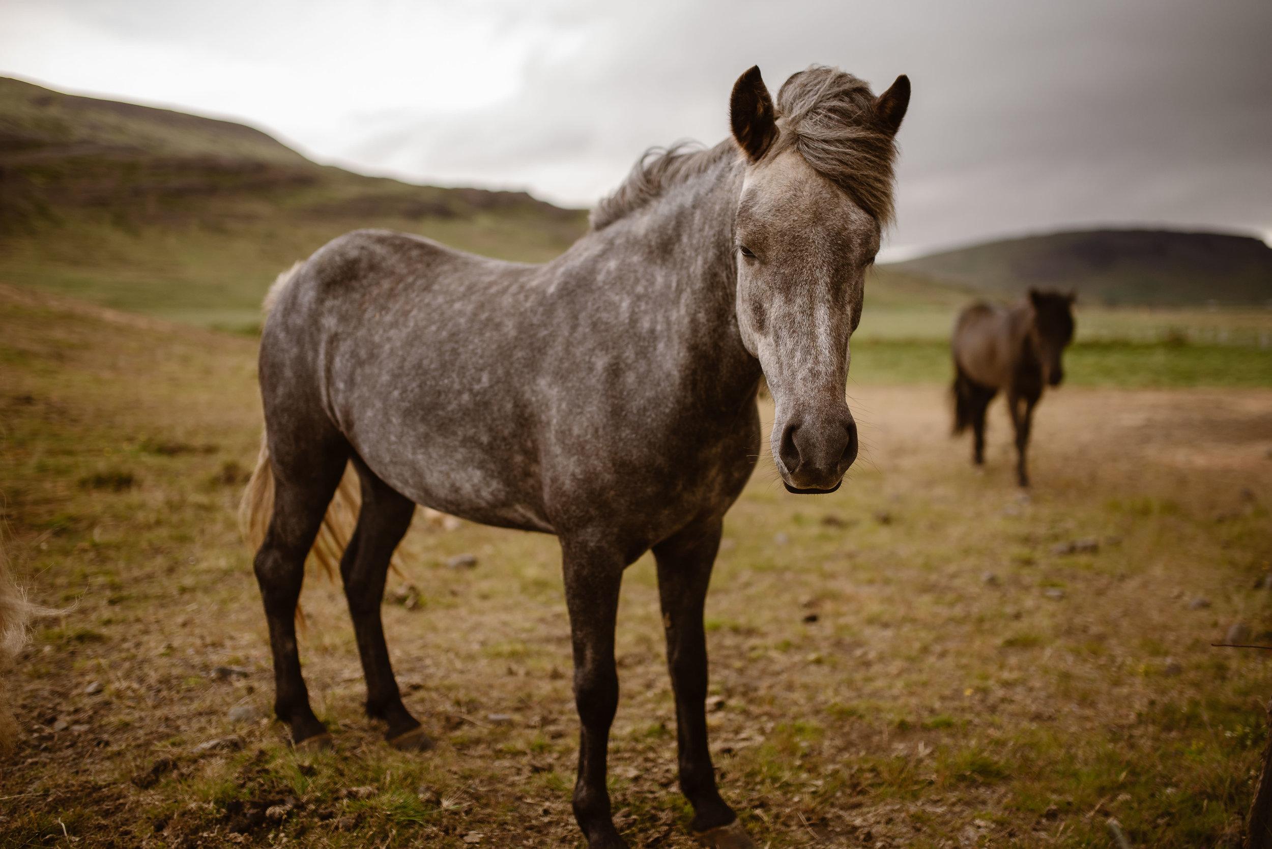 iceland-horse-photos