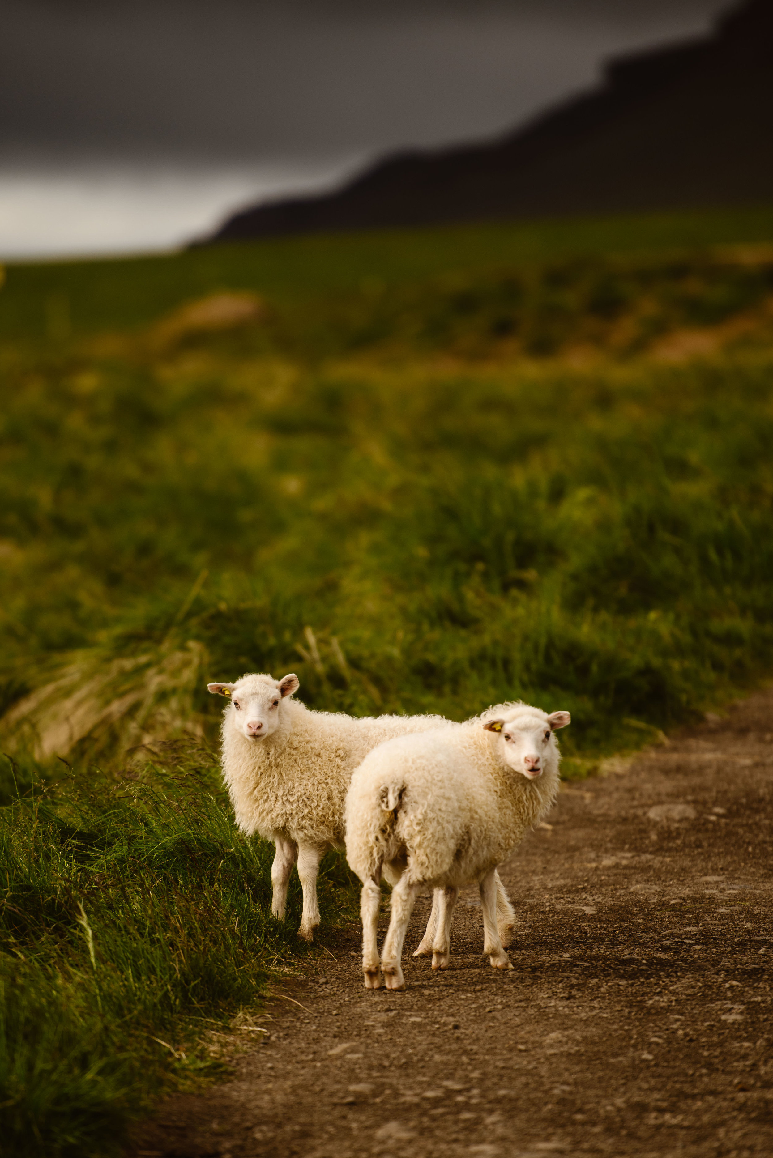 sheep-in-iceland