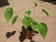 Pleurothallis cardiothallis Charlotte