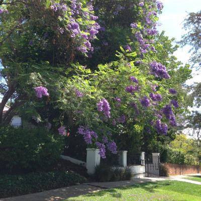 Jacarandas along Los Feliz Blvd.