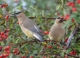 More Cedar Waxwings