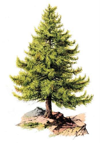 German Tree_Tree_circa 1875_05.jpg