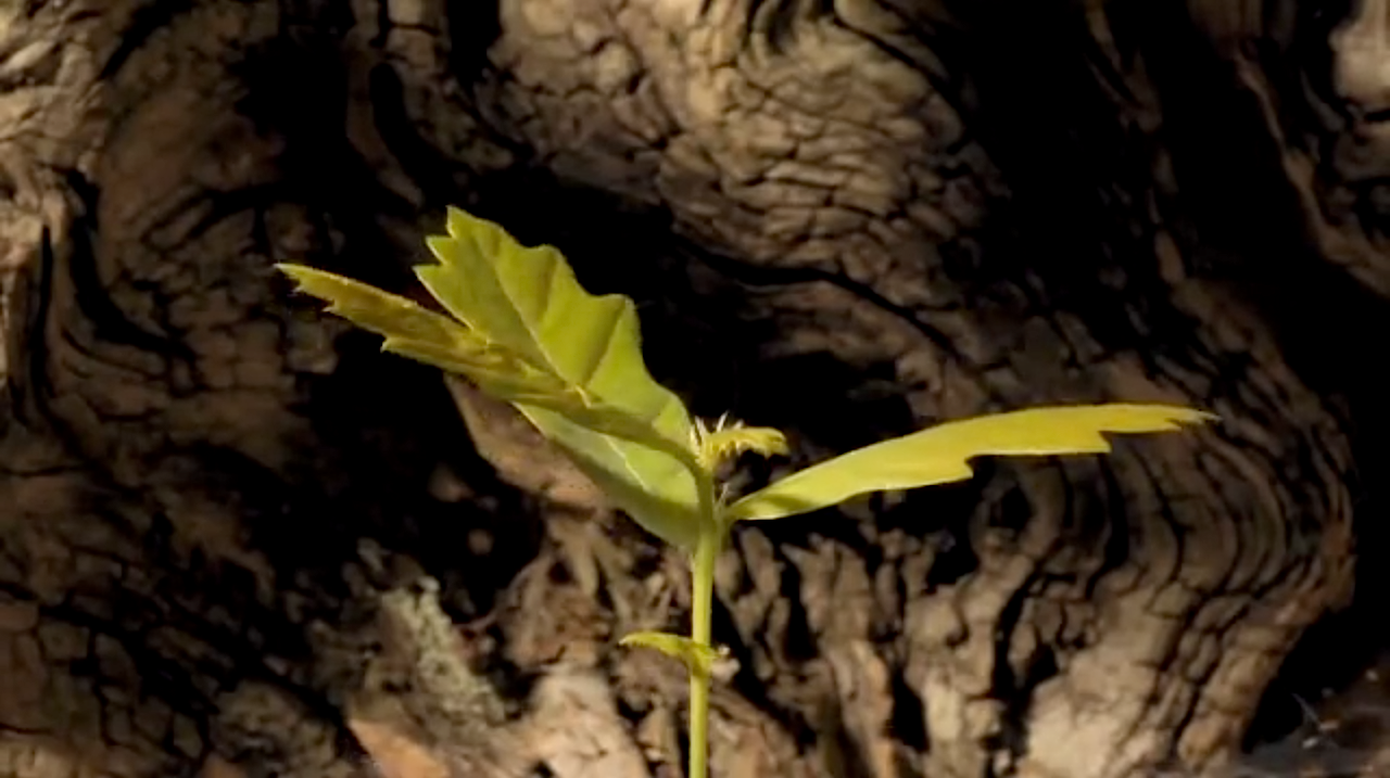 SPROUTING OF AN ACORN (time-lapse video)