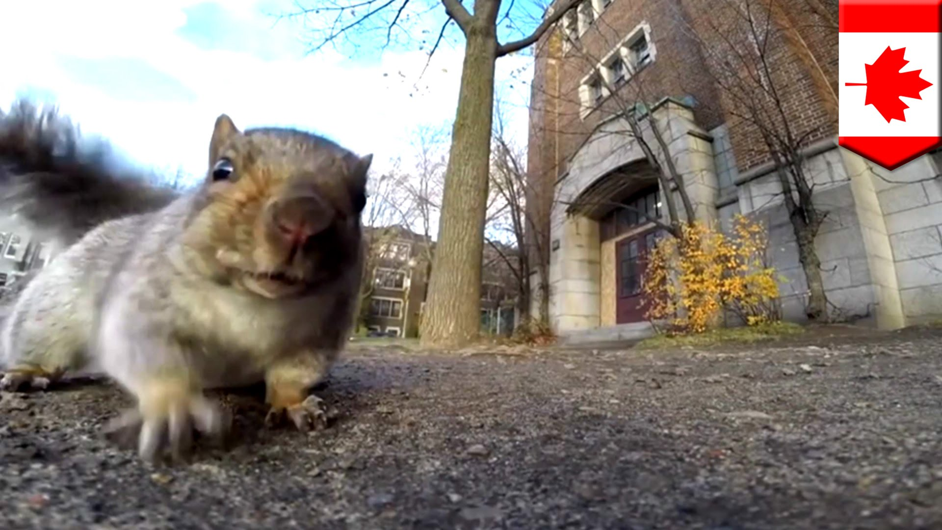 A SQUIRREL TAKES US ON A TOUR OF THE TREES (video)