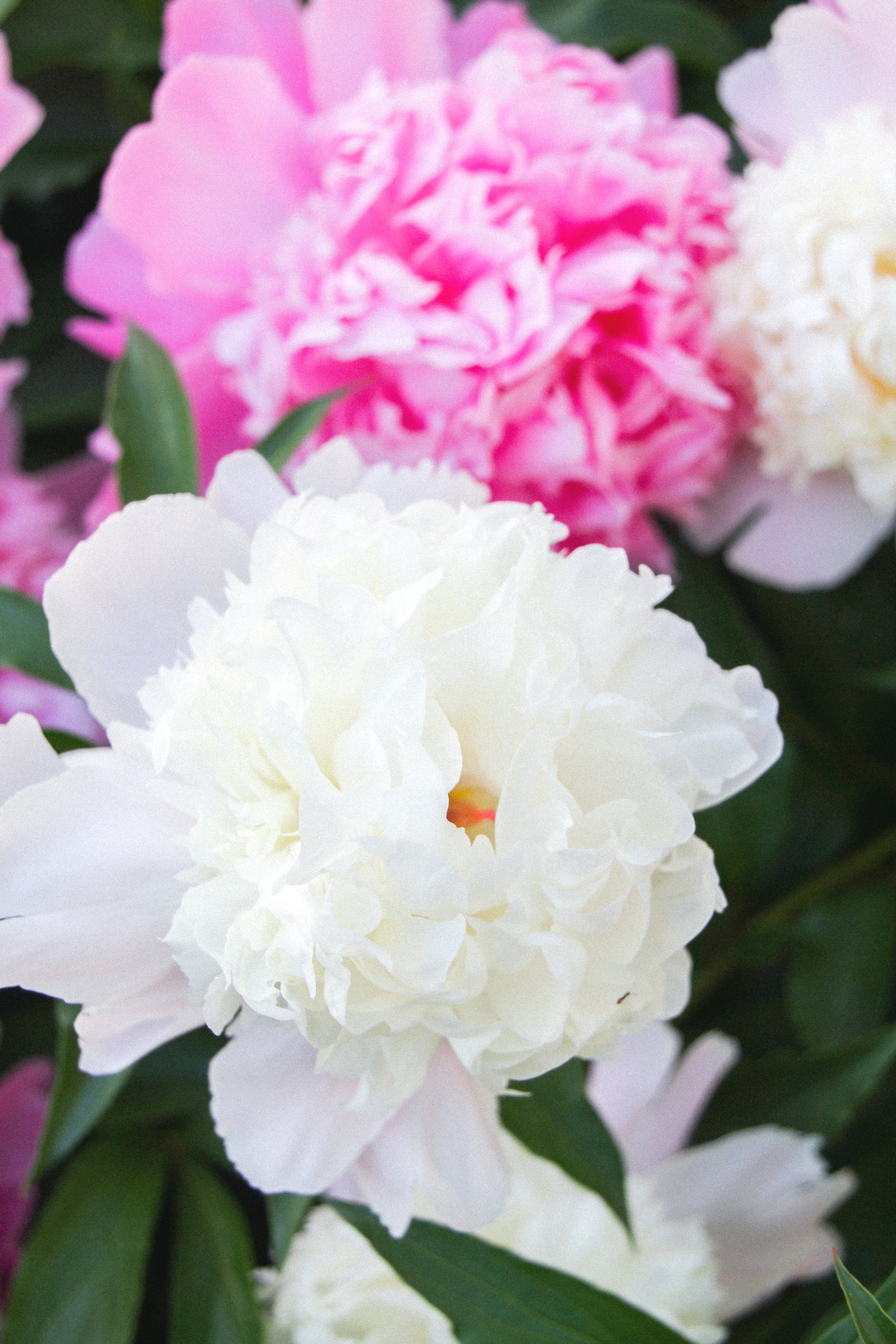 Letters+Are+Lovely+%7C+Peony+Season