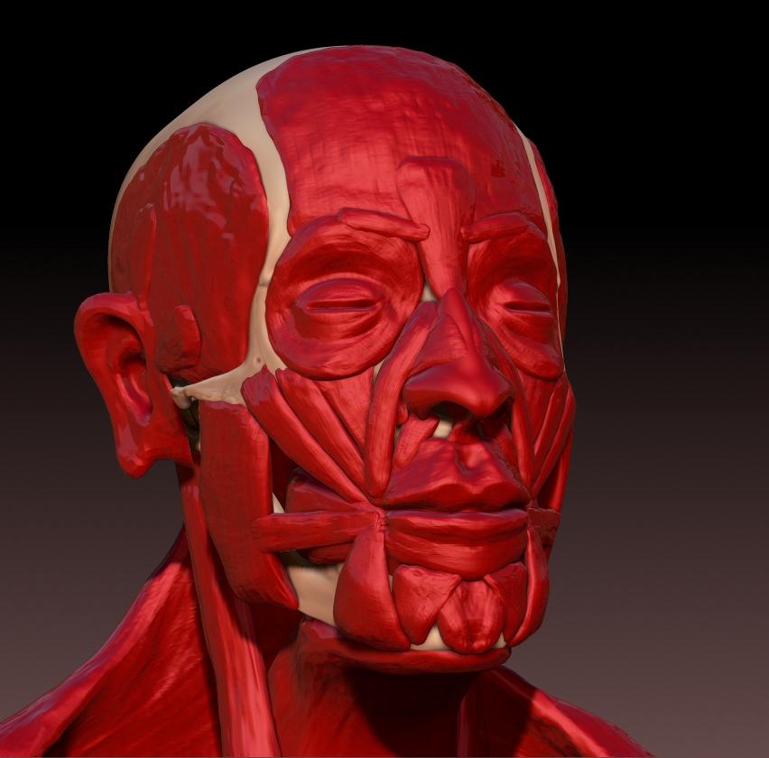 Skull w/ Muscles 03