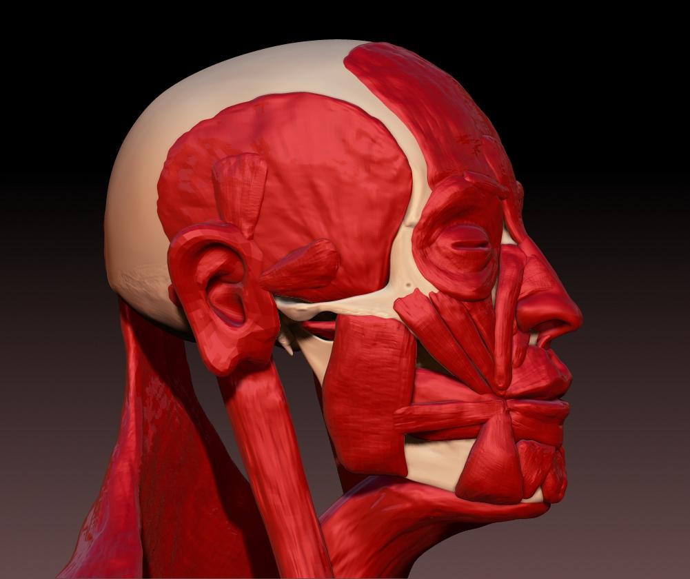 Skull w/ Muscles 04