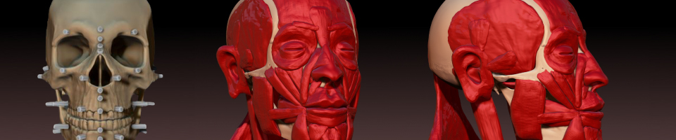 Skull Study w/Facial Muscles