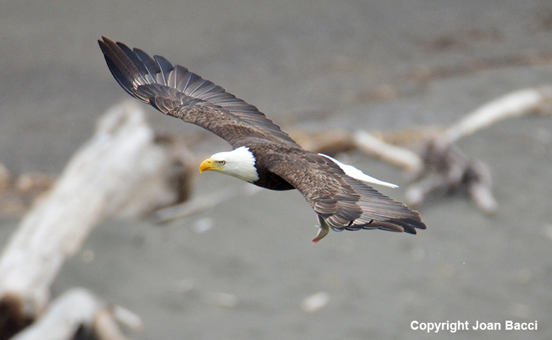 Jenner Bald Eagle With Fish