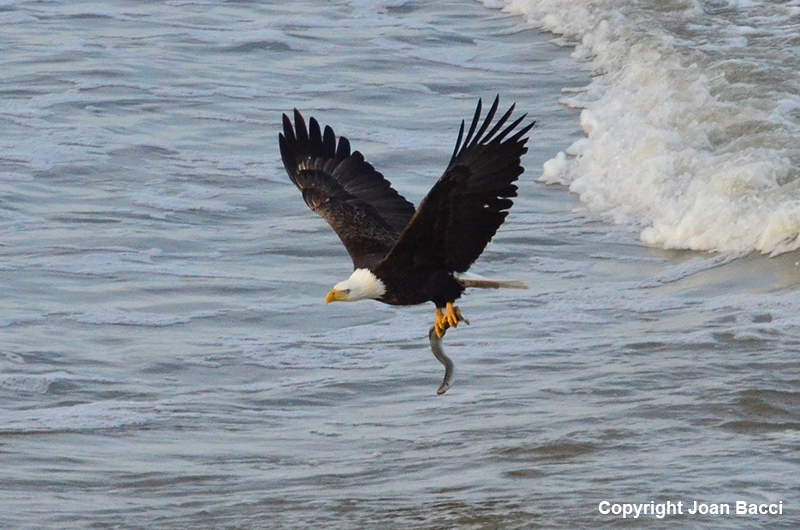 Jenner Bald Eagle with Lamprey