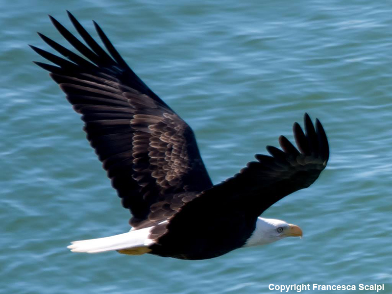 Bald Eagle Flying Toward Mouth of River