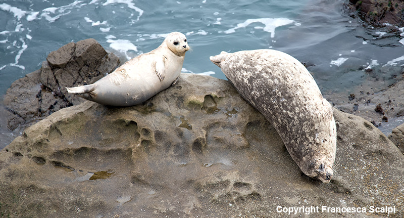 Harbor Seals By Fort Ross