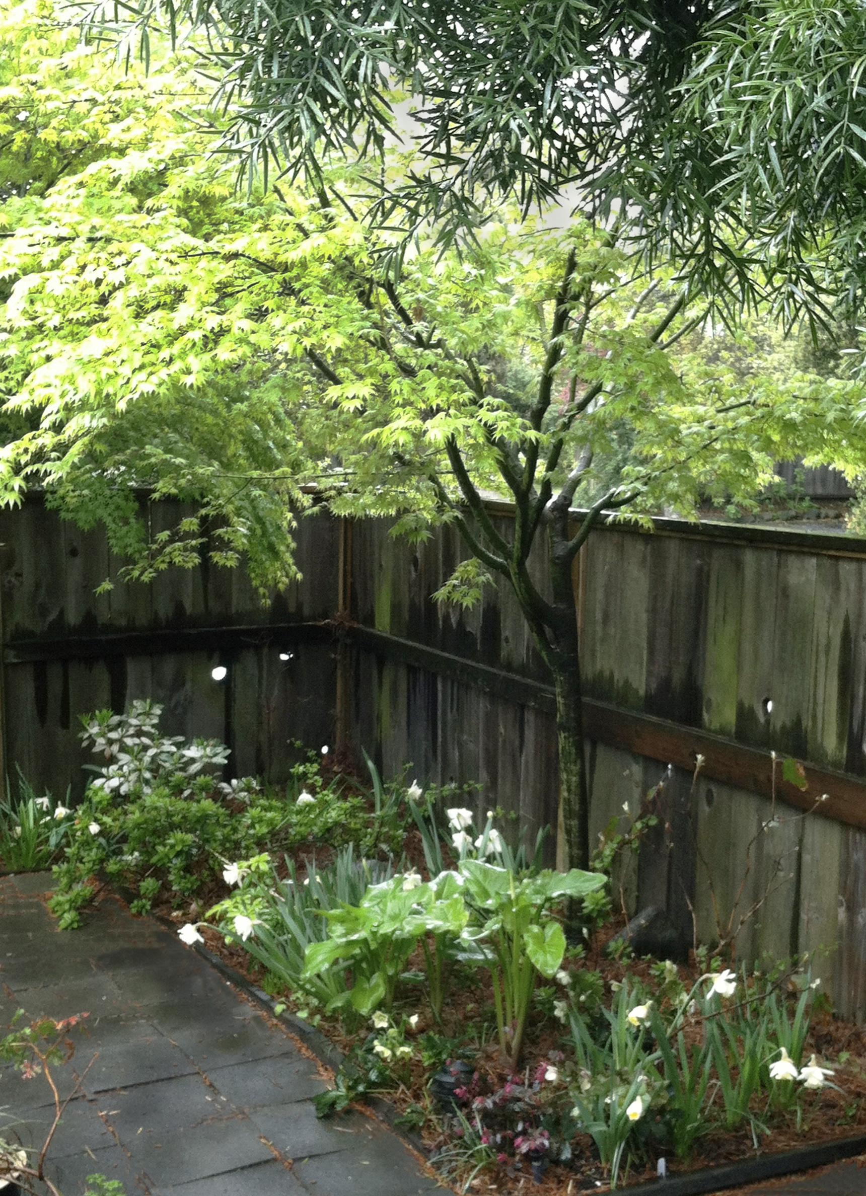 spring maple.jpg
