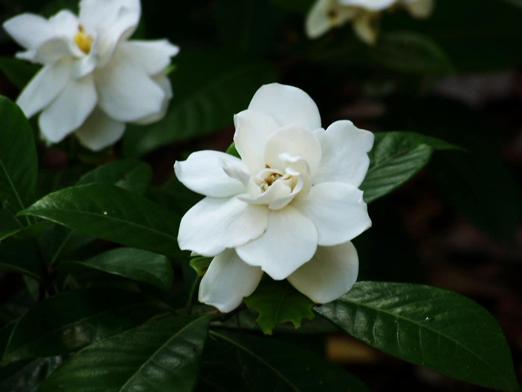 Gardenia Photo: Herself's Houseplants