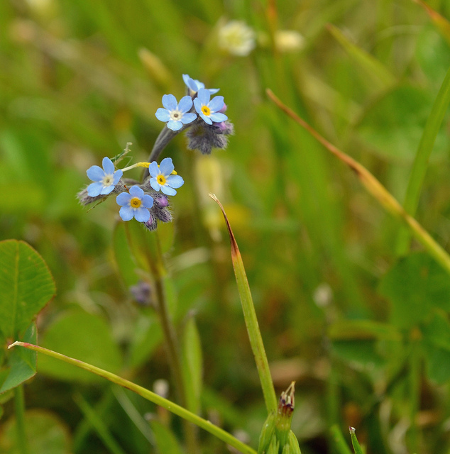 Forget-me-not Photo: Conall McCaughey